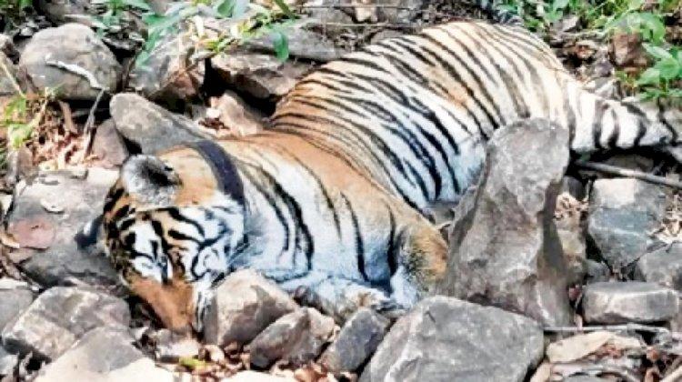 पन्ना टाइगर रिजर्व की युवा बाघिन मौत से अनाथ हुए उसके चार नन्हें शावक कहां हो गए गुम